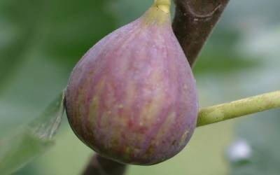 Shop Celeste Fig - 1 Gallon