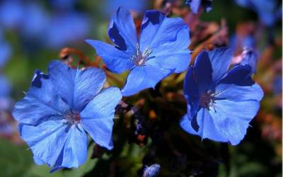 Shop Hardy Blue Plumbago - 10 Count Flat