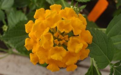 Shop Chapel Hill Gold Hardy Lantana - 3 Count Flat of Pint Pots