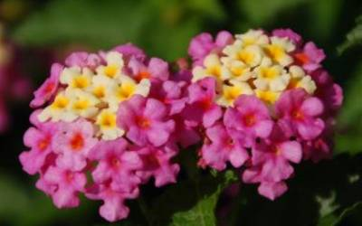 Shop Chapel Hill Pink Huff Lantana - 1 Gallon