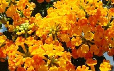 Shop Chapel Hill Sunset Orange Lantana - 3 Count Flat of Pint Pots