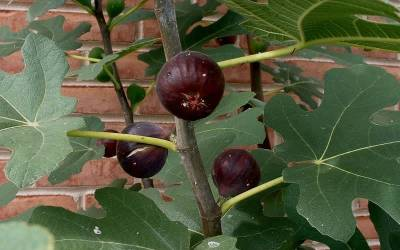 Shop Chicago Cold Hardy Fig - 1 Gallon