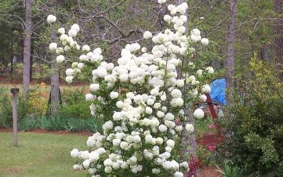 Shop Chinese Snowball Viburnum - 3 Gallon