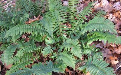 Shop Christmas Fern  - 1 Gallon