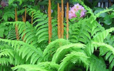 Shop Cinnamon Fern - 1 Gallon