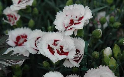 Dianthus - Cottage Pinks