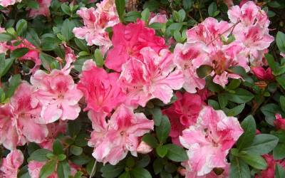 Shop Conversation Piece Azalea - 1 Gallon