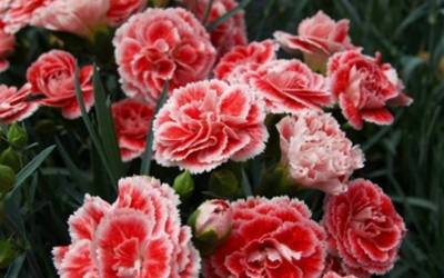 Shop Coral Reef Carnation - 12 Count Flat of Pint Pots