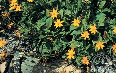 Shop Nana Mouse Ear Coreopsis - 1 Gallon