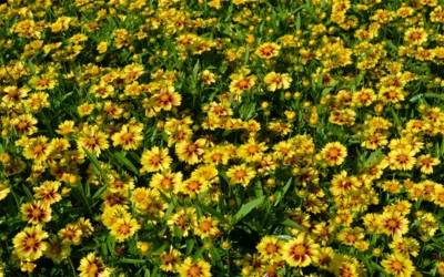 Shop Lil Bang Enchanted Eve Coreopsis - 1 Gallon