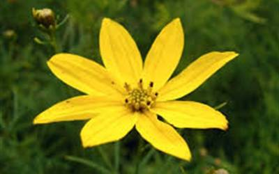 Shop Sylvester Coreopsis  - 1 Gallon