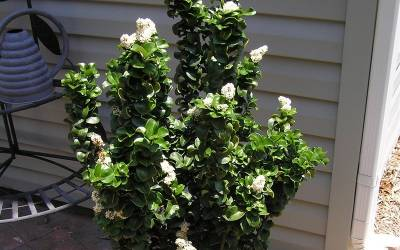 Buy Ligustrum - Privet Online
