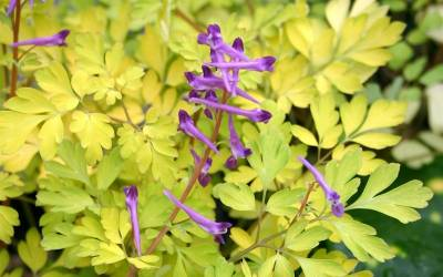 Shop Corydalis Berry Exciting - 1 Gallon