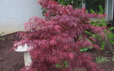 Shop Crimson Queen Japanese Maple  - 2 Gallon