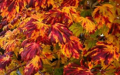 Buy Japanese Maples 16-20 Feet Online