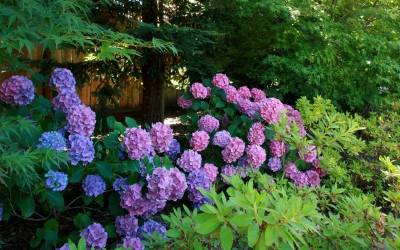 Shop Dear Dolores Hydrangea - 2 Gallon