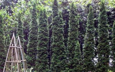 Columnar & Narrow Shrubs