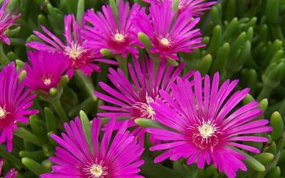 Shop Delosperma cooperi - Purple Hardy Ice Plant - 3 Count Flat of Pint Pots
