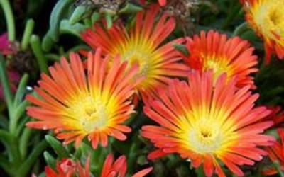 Shop Delosperma Fire Wonder Ice Plant - 8 Count Flat of Quart Pots
