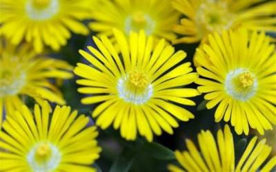 Buy Ice Plants Online
