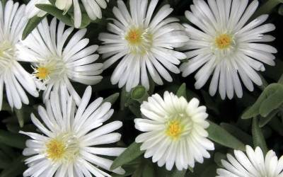 Shop Delosperma Jewel of the Desert Moonstone - Ice Plant - 3 Count Flat of Pint Pots
