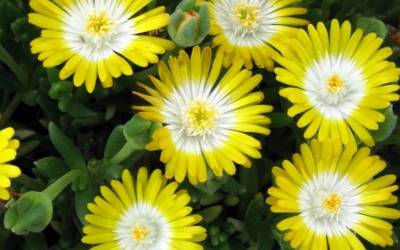 Shop Delosperma 'Jewel of the Desert Peridot' - Ice Plant - 3 Count Flat of Pint Pots