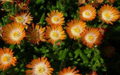 Shop Delosperma 'Jewel of the Desert Topaz' - Ice Plant - 3 Count Flat of Pint Pots
