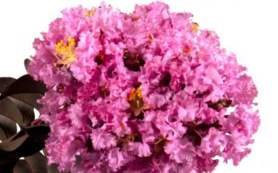 Shop Delta Eclipse Crape Myrtle - 2 Gallon