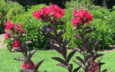 Buy Trees for Summer Color Online