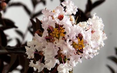 Shop Delta Moonlight Crape Myrtle - 2 Gallon