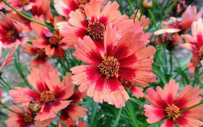 Shop Desert Coral Coreopsis - Tickseed - 1 Gallon