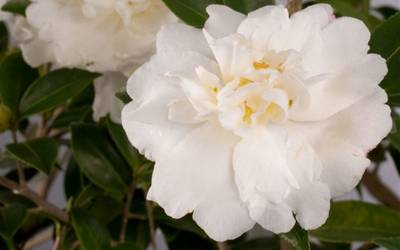 Shop Diana Camellia - 2 Gallon