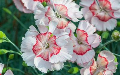 Shop Dianthus American Pie - Georgia Peach Pie - 1 Gallon