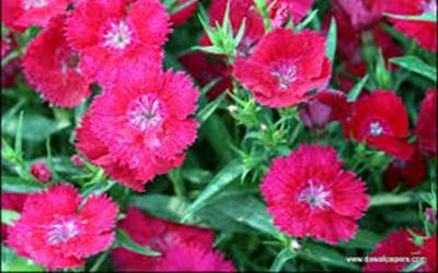 Shop Dianthus Jolt Cherry - 3 Count Flat of Pint Pots