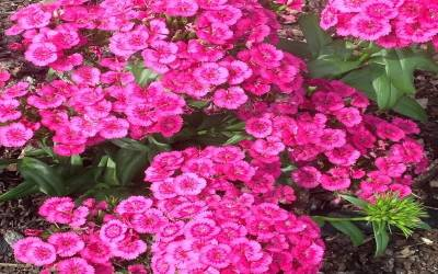 Shop Dianthus Jolt Pink - 1 Gallon