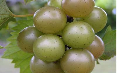 Shop Doreen Muscadine - 1 Gallon