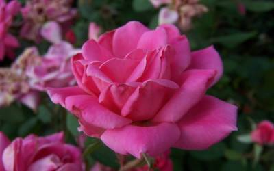 Buy Knock Out Rose Series Online