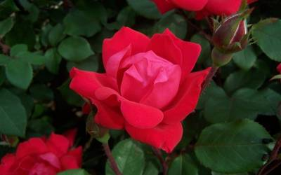 Buy Knock Out Roses Online