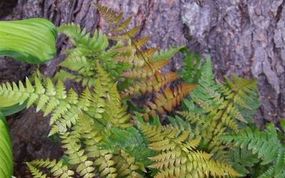Shop Autumn Fern - 3 Count Flat of Pint Pots