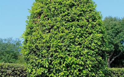 Shop East Palatka Holly - 1 Gallon
