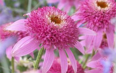 Shop Conefections Pink Double Delight Coneflower - 1 Gallon