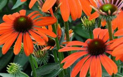 Shop Julia Orange Coneflower  - 1 Gallon
