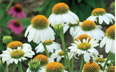 Shop Pow Wow White Coneflower - 3 Count Flat of Pint Pots