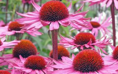 Shop Magnus Purple Coneflower - 1 Gallon