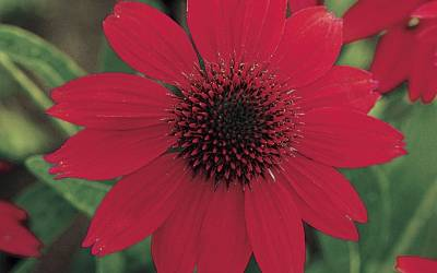 Shop Salsa Red Coneflower - 1 Gallon