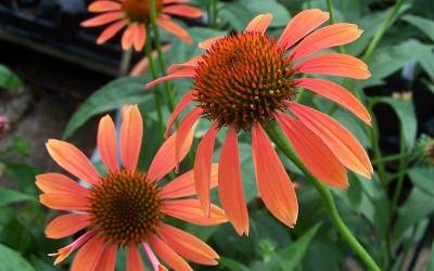 Shop Big Sky Sundown Coneflower - 1 Gallon