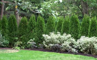 Buy Evergreen Trees Online
