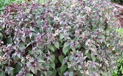 Shop Chocolate Snakeroot - 1 Gallon