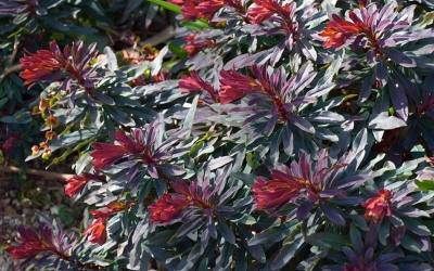 Shop Ruby Glow Wood Spurge - 10 Count Flat of 1 Quart Pots