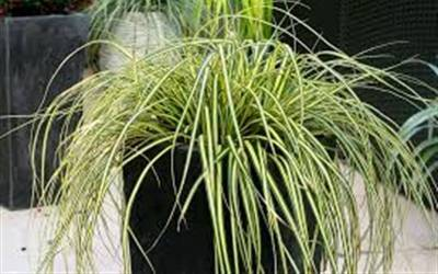 Buy Grasses - Ornamental Online